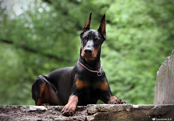 Какую породу собак выбрать для охраны квартиры?