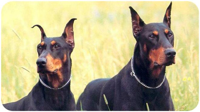 Какие породы собак лучшие для охраны частного дома?